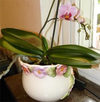 Orkide h