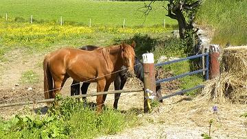 2 hästar